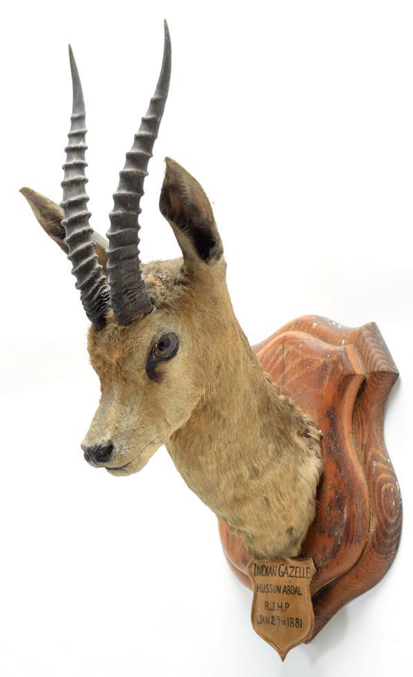 Taxidermy: Chinkara or Indian Gazelle (Gazella bennettii), circa January 29th 1881, Hussan Abdul,