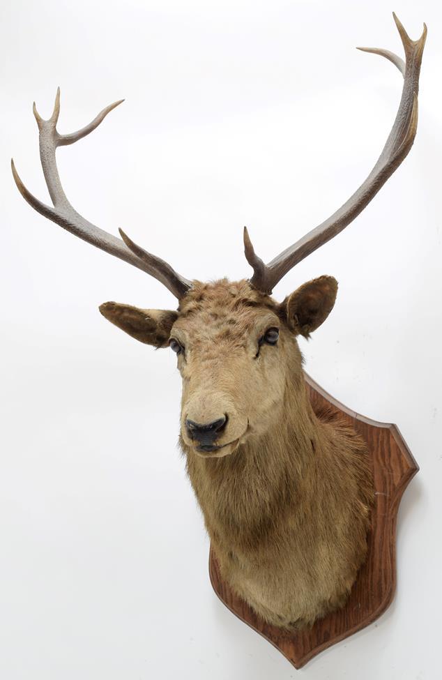Taxidermy: European Red Deer & European Reindeer, circa late 19th century, a Red Deer stag neck - Image 5 of 6