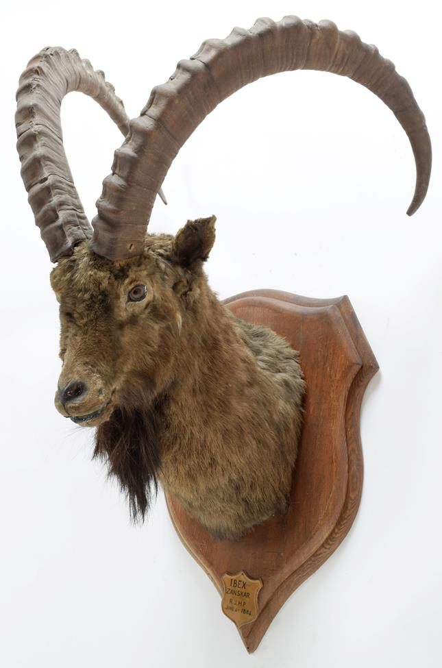 Taxidermy: Mid-Asian Ibex (Capra Sibirica alaiana), circa June 04th 1884, Zanskar, Ladakh, - Image 2 of 3