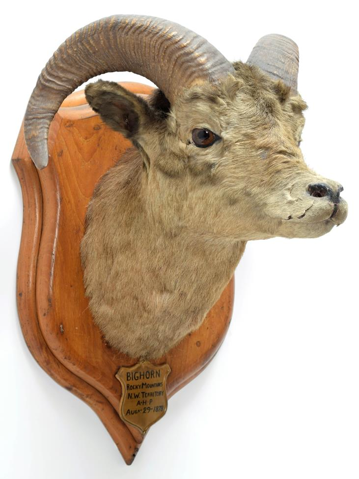Taxidermy: Big Horn Sheep (Ovis canadensis), circa August 29th 1878, Rocky Mountains, North West