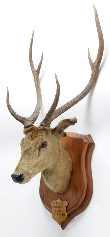 Taxidermy: Chital or Axis Deer (Axis axis), circa February 23rd 1875, Sewaliks Hills, Nepal, adult - Image 2 of 3