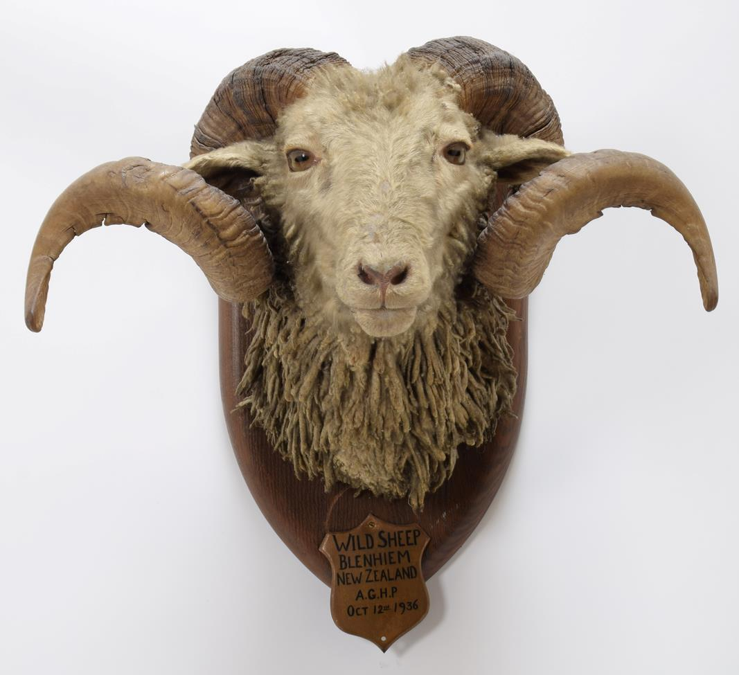 Taxidermy: New Zealand Wild Sheep / Arapawa Sheep (Ovis aries), circa October 12th 1936, New - Image 3 of 3