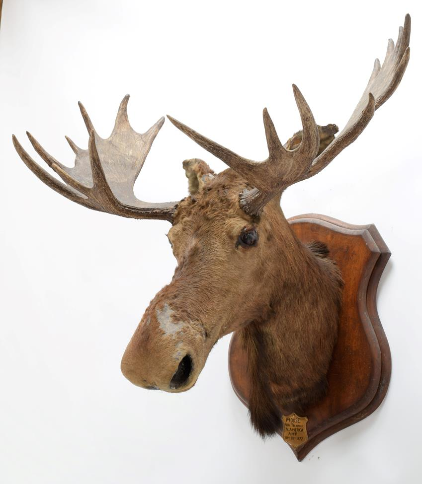 Taxidermy: North American Moose (Alces alces), circa September 18th 1877, N.W. Territory, adult male - Image 2 of 3
