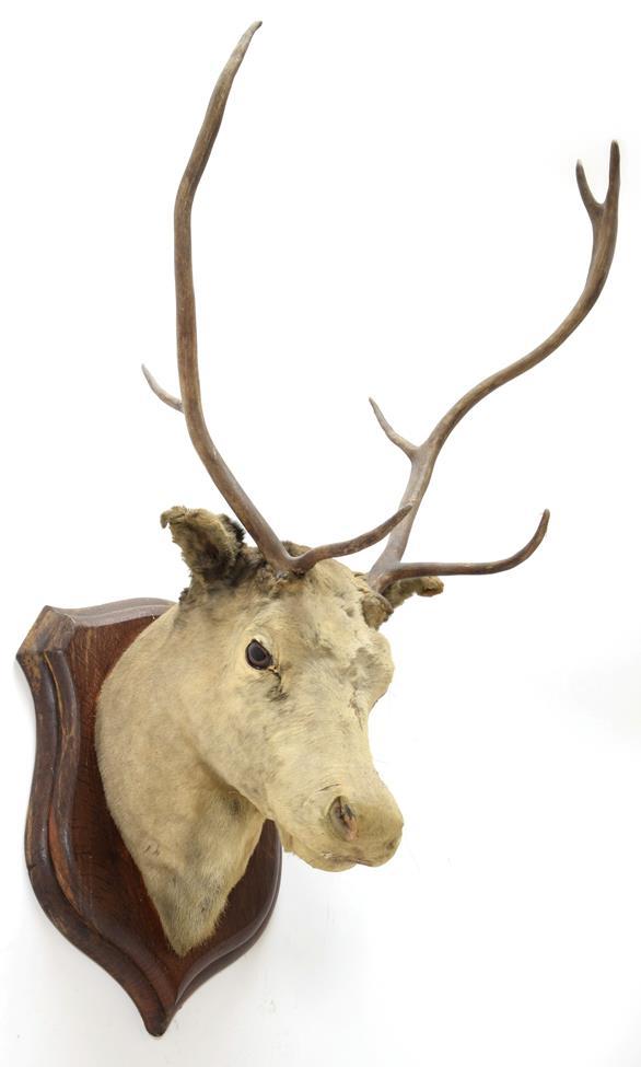 Taxidermy: European Red Deer & European Reindeer, circa late 19th century, a Red Deer stag neck - Image 3 of 6