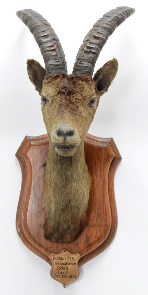 Taxidermy: Spanish Ibex (Capra pyrenaica), circa December 23rd 1879, Bouquetin, Sierra Vermeja, - Image 2 of 3