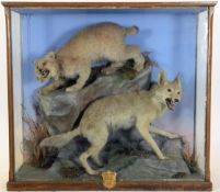 Taxidermy: A Large Cased North American Lynx & Coyote, circa 1872, by Henry Shaw, Taxidermy,