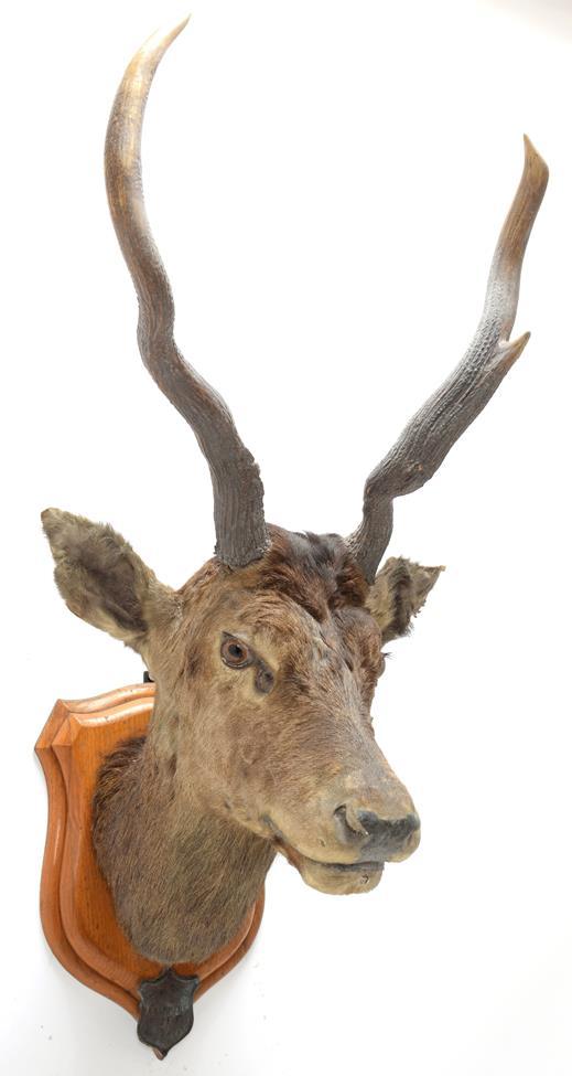 Taxidermy: Kashmir Deer or Hungul (Cervus elaphus hangul), circa September 27th 1877, Kashmir,