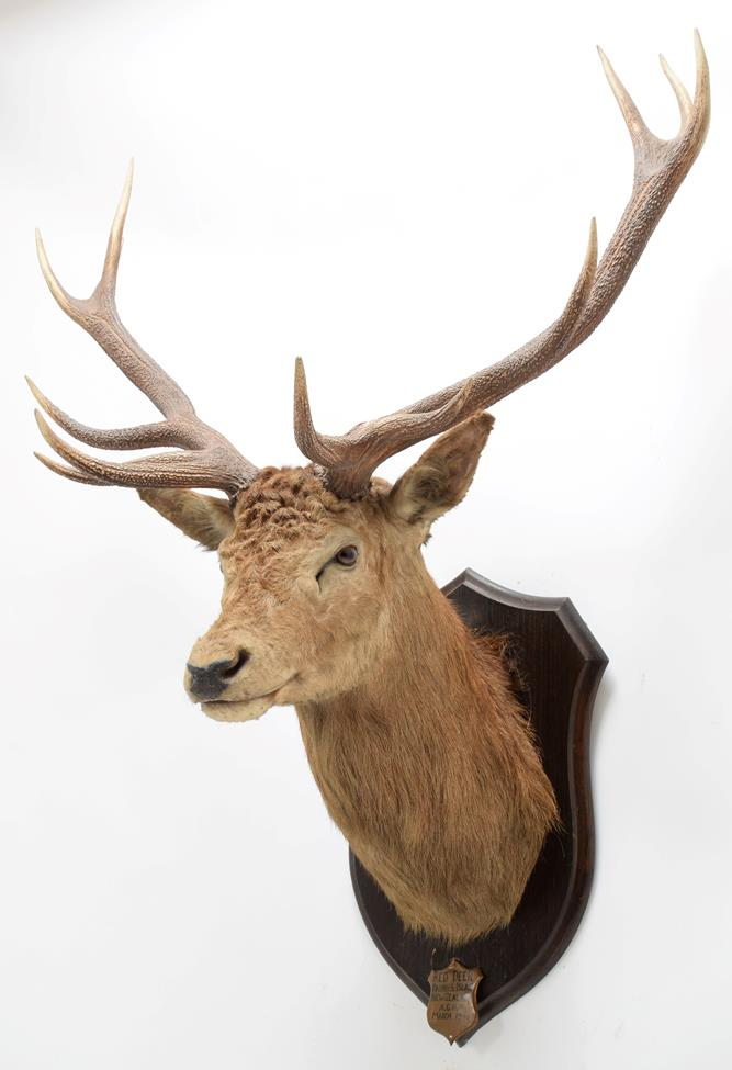 Taxidermy: New Zealand Red Deer (Cervus elaphus), circa March 1936, Okuru, South Island, by - Image 2 of 4