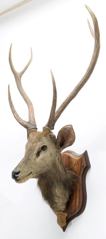 Taxidermy: Indian Sambar Deer (Rusa unicolor), circa January 12th 1883, Limri, Northern India, adult - Image 2 of 3