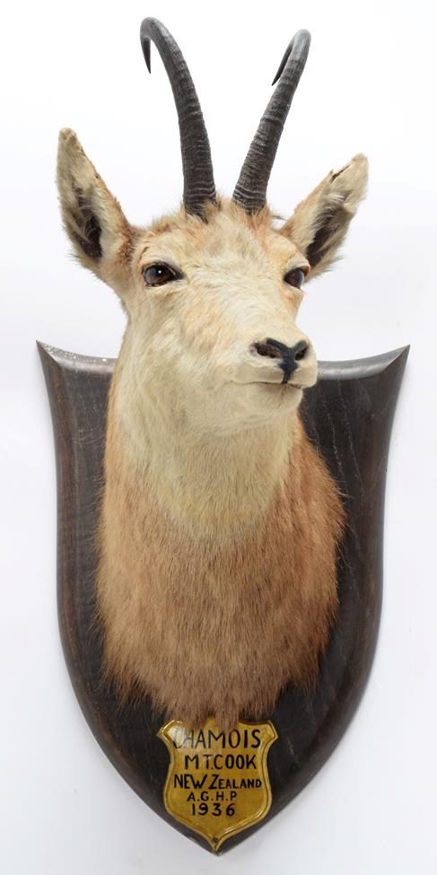 Taxidermy: New Zealand Chamois (Rupicapra rupicapra), circa 1936, by Peter Spicer & Sons, Taxidermy, - Image 2 of 2