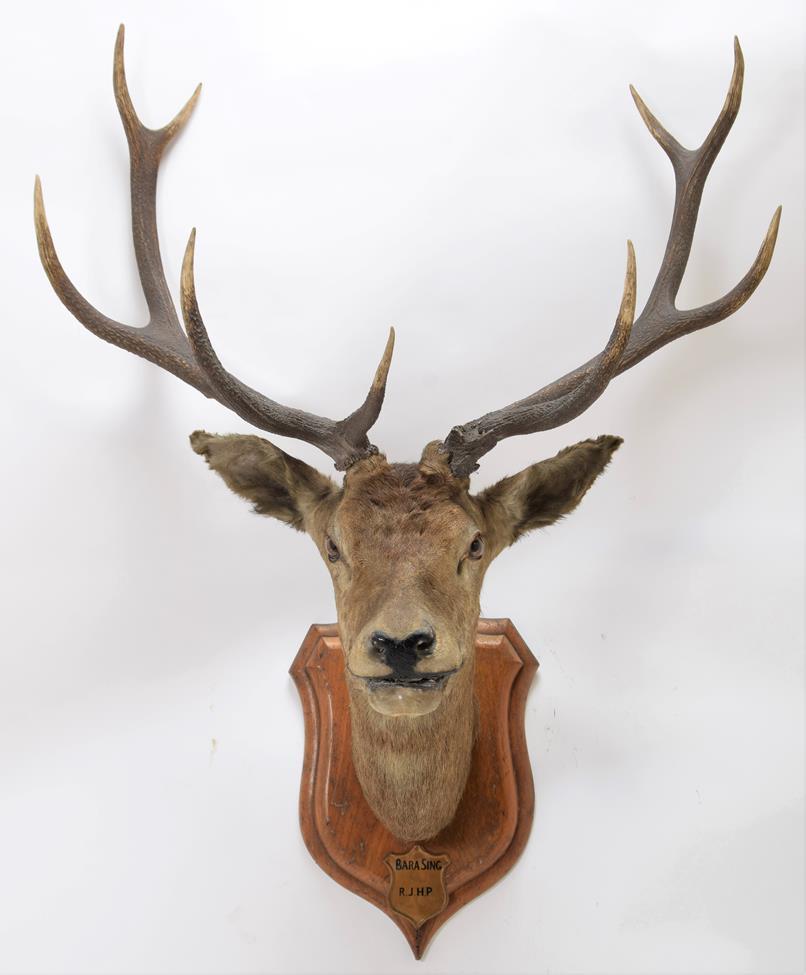 Taxidermy: Kashmir Deer or Hangul (Cervus elaphus hangul), circa 1877, Kashmir, India, large adult - Image 3 of 3
