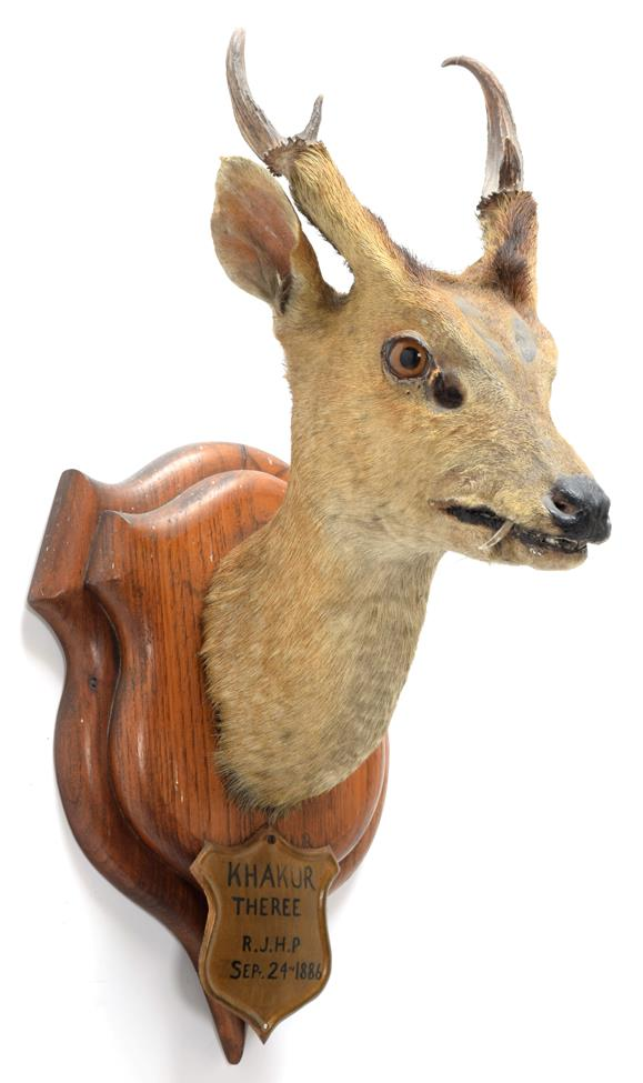 Taxidermy: Indian Muntjac (Muntiacus muntjak), circa September 24th 1886, Theree, India, adult