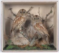 Taxidermy: A Cased Pair of Tawny Owls (Strix aluco), circa 1880-1900, a pair of adult full mounts,