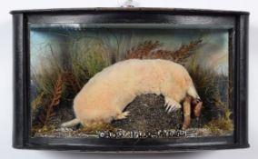 Taxidermy: A Wall Cased Golden Mole (Talpa europaea), modern, Crow Hills, Farm, Leyburn, by A.J.