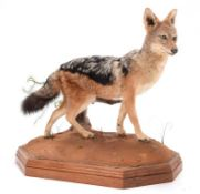 Taxidermy: Black-Backed Jackal (Canis mesomelas), modern, South Africa, a full mount adult in