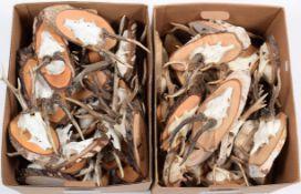 Taxidermy: European Roebuck (Capreolus capreolus), circa late 20th century, fifty sets of mostly