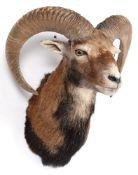 Taxidermy: European Mouflon (Ovis aries musimon), circa late 20th century, adult male