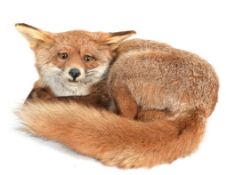Taxidermy: A Fireside Red Fox (Vulpes vulpes), circa late 20th century, a full mount adult fox in