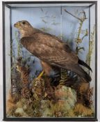 Taxidermy: Common Buzzard (Buteo buteo), 1870-1920, by H.T.Shopland, 40 Higher Union St, Torquay,