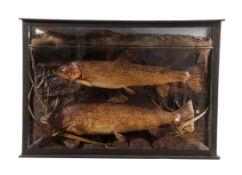 Taxidermy: A Cased Pair of Brown Trout (Salmo trutta), by A.W. Ecutt, Naturalist & Taxidermist,