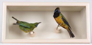 Taxidermy: A Cased Orange-Bellied Leafbird & Jerdon's Leafbird, circa early 20th century, both