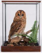 Taxidermy: A Cased Tawny Owl (Strix aluco), circa 2011, by Dave Hornbrook, Taxidermy, Guisborough,