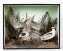 Taxidermy: A Victorian Cased Pair of Arctic Terns (Sterna paradisaea), a pair of full mount