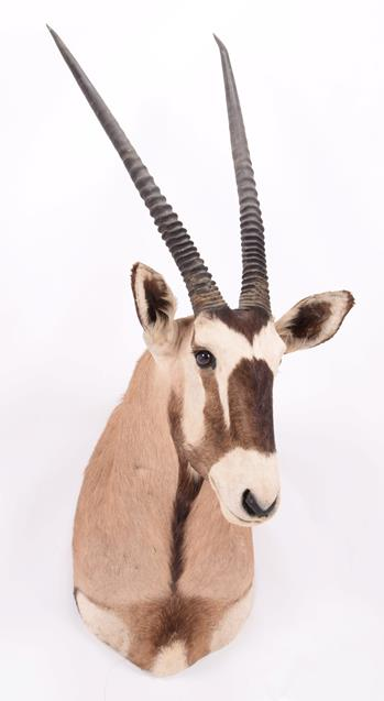 Taxidermy: Gemsbok Oryx (Gazella gazella), dated 2002, Osonjiva, Namibia, high quality adult male - Image 3 of 3
