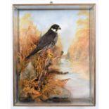 Taxidermy: A Wall Cased Northern Hobby (Falco subbuteo), circa 2006, by A.J. Armitstead, Taxidermy,