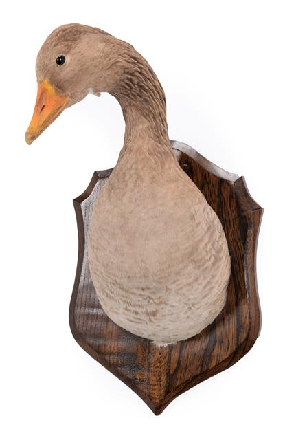 Taxidermy: Greylag Goose Neck Mount (Anser anser), circa late 20th century, an adult neck mount with