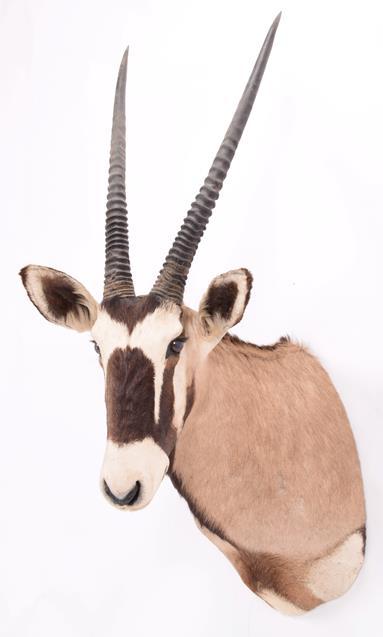 Taxidermy: Gemsbok Oryx (Gazella gazella), dated 2002, Osonjiva, Namibia, high quality adult male - Image 2 of 3