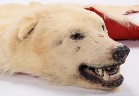 Taxidermy: Polar Bear Skin (Ursus maritimus), circa 1970, Canada, a young adult skin rug with head - Image 7 of 7
