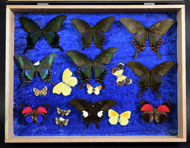 Entomology: A Collection of Birdwing & Swallowtail Tropical Butterflies, circa mid-late 20th - Image 4 of 4