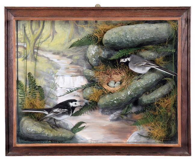 Taxidermy: A Wall Cased Pair of Pied Wagtails (Motacilla alba yarrellii), dated 2005, by A.J.