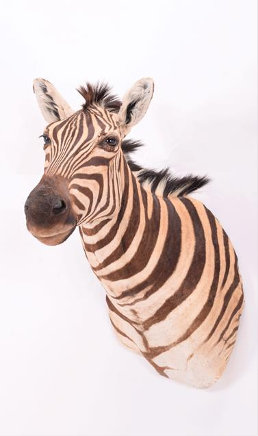 Taxidermy: Burchell's Zebra (Equus quagga), modern, South Africa, a superb quality example of an - Image 3 of 4
