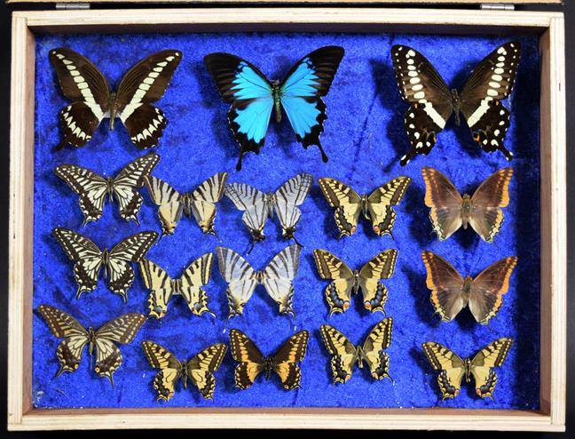 Entomology: A Collection of Birdwing & Swallowtail Tropical Butterflies, circa mid-late 20th - Image 2 of 4