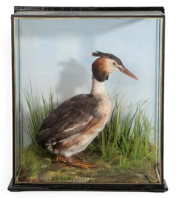 Taxidermy: A Cased Great Crested Grebe (Podiceps cristatus), by J.E. Shelbourne, 21 Amy Street,