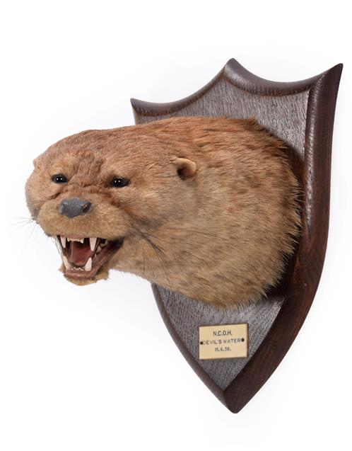 Taxidermy: A Eurasian Otter Mask (Lutra lutra), dated 15th 06th 1938, by Peter Spicer & Sons,