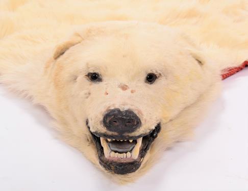 Taxidermy: Polar Bear Skin (Ursus maritimus), circa 1970, Canada, a young adult skin rug with head - Image 5 of 7
