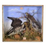 Taxidermy: A Late Victorian Cased Pair of Honey Buzzards (Pernis apivorus), circa 1880-1900, by