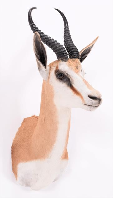 Taxidermy: South African Springbok (Antidorcas marsupialis), modern, high quality shoulder mount - Image 2 of 3
