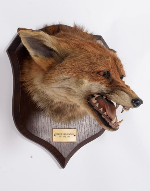 Taxidermy: Red Fox Mask (Vulpes vulpes), dated 10th October,1931, by Peter Spicer & Sons, - Image 3 of 5