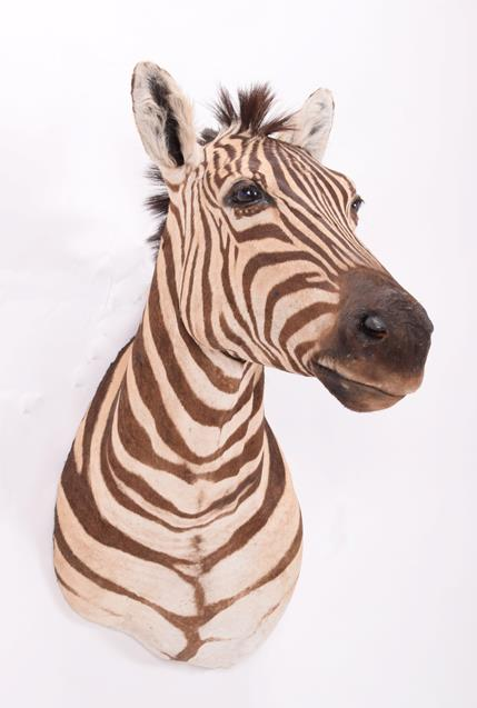 Taxidermy: Burchell's Zebra (Equus quagga), modern, South Africa, a superb quality example of an - Image 2 of 4