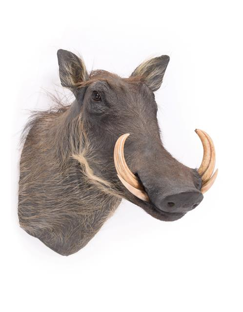 Taxidermy: Common Warthog (Phacochoerus africanus), modern, South Africa, high quality adult