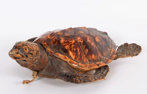 Taxidermy: Hawksbill Sea Turtle (Eretmochelys imbricata), circa 1920, juvenile full mount with - Image 2 of 3