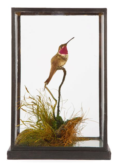 Taxidermy: A Cased Ruby-Throated Hummingbird (Archilochus colubris), perched atop a small branch,