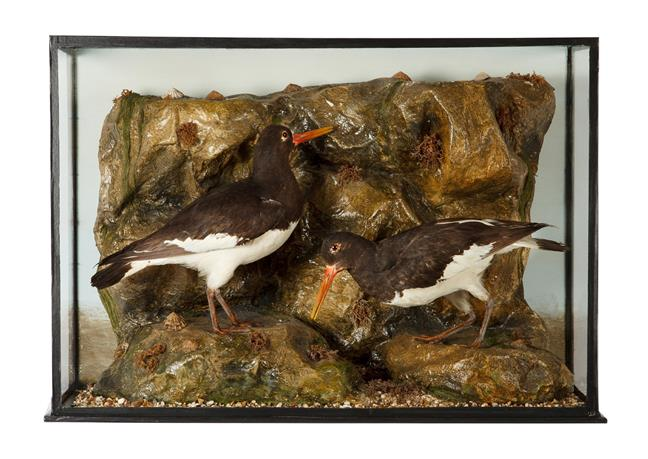 Taxidermy: A Late Victorian Cased Pair of Eurasian Oystercatchers (Haematopus ostralegus), in the