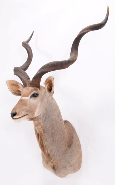 Taxidermy: Cape Greater Kudu (Strepsiceros strepsiceros), dated 2002, Osonjiva, Namibia, South - Image 3 of 3
