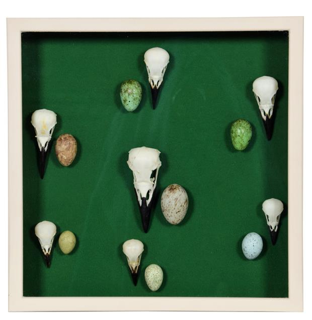 Skulls/Anatomy: A Framed Display of Corvid Skulls, modern, a collection of seven various corvid