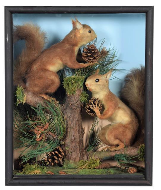 Taxidermy: A Pair of Cased Red Squirrels (Sciurus vulgaris), 20th century, a pair of full mount